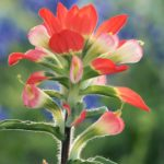 Backlit Indian Paintbrush, Led by the Light by Therese Tusa