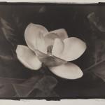 Magnolia by Michael Pittman