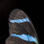 Blue Butterfly Wing OMG Bugs by Alberto Alanis